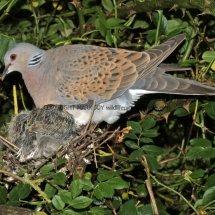 Turtle Dove (6)