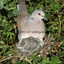 Turtle Dove (7)