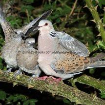 Turtle Dove (9)
