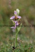 Wasp Orchid Ophrys apifera var. trolii (10)