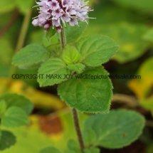 Water mint (Mentha aquatica) (3)