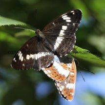 White Admirals mating (1)