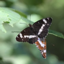 White Admirals mating (2)