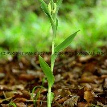White Helleborine (Cephalanthera damasonium) 11.5.2017 (1)