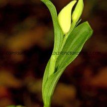 White Helleborine (Cephalanthera damasonium) 11.5.2017 (2)
