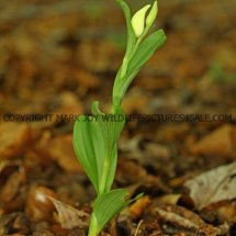 White Helleborine (Cephalanthera damasonium) 11.5.2017 (3)