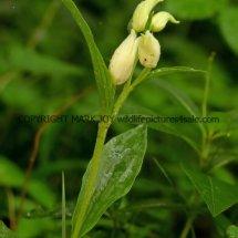 White Helleborine (Cephalanthera damasonium) 18.5.17