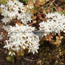 White Stonecrop (Sedum album) (1)