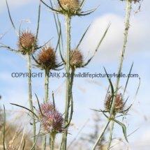 Wild Teasel (Dipsacus fullonum) (1)
