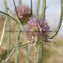 Wild Teasel (Dipsacus fullonum) (2)