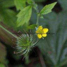 Wood Avens or Herb Bennet (Geum urbanum) (3)