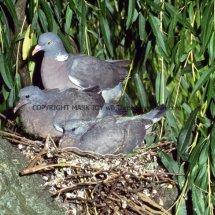 Wood Pigeon 34 (1)