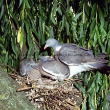 Wood Pigeon 34 (2)