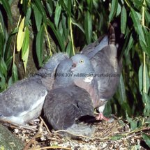 Wood Pigeon 34 (3)