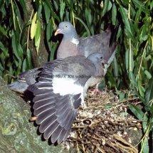 Wood Pigeon 34 (4)