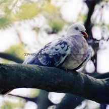 Wood Pigeon unusual colour (1)