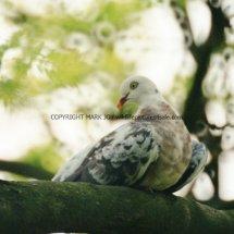 Wood Pigeon unusual colour (2)