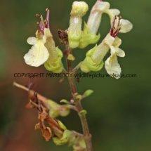 Wood Sage (Teucrium scorodonia) (2)