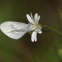 Wood White (13)