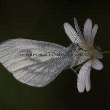 Wood White (15)
