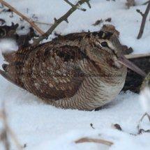 Woodcock (4)