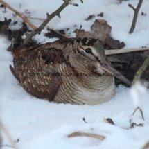 Woodcock (9)