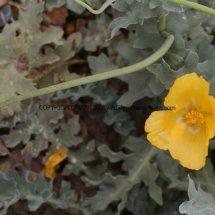 Yellow Horned Poppy (Glaucium flavum) (1)