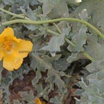 Yellow Horned Poppy (Glaucium flavum) (2)