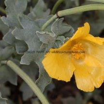 Yellow Horned Poppy (Glaucium flavum) (3)