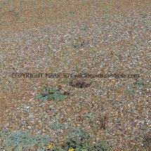 Yellow Horned Poppy (Glaucium flavum) (4)