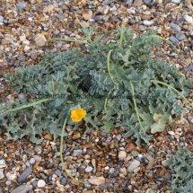 Yellow Horned Poppy (Glaucium flavum) (5)