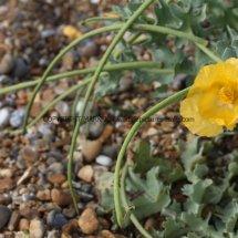 Yellow Horned Poppy (Glaucium flavum) (6)
