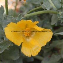 Yellow Horned Poppy (Glaucium flavum) (7)