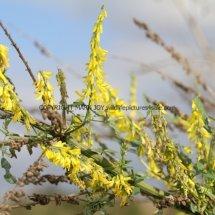 Yellow Melilot (Meltlotus Officinalis) (2)