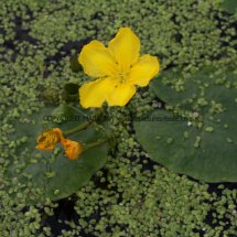 Yellow Water-lily (Nuphar lutea) (2)