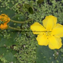 Yellow Water-lily (Nuphar lutea) (4)