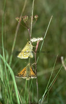 Silver Spotted Skippers resting - Mark Joy 1993 Butterfly Conservation's U.K.Butterfly Photographer Of The Year