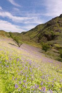 Bluebells In Bloom