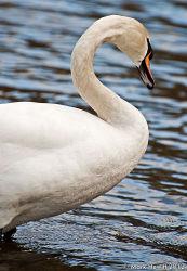 Rydal Water Swan