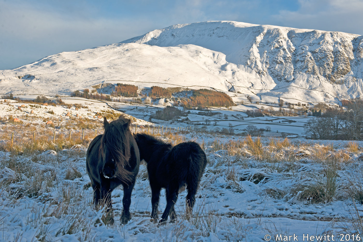 Wild Ponies At Low Rigg