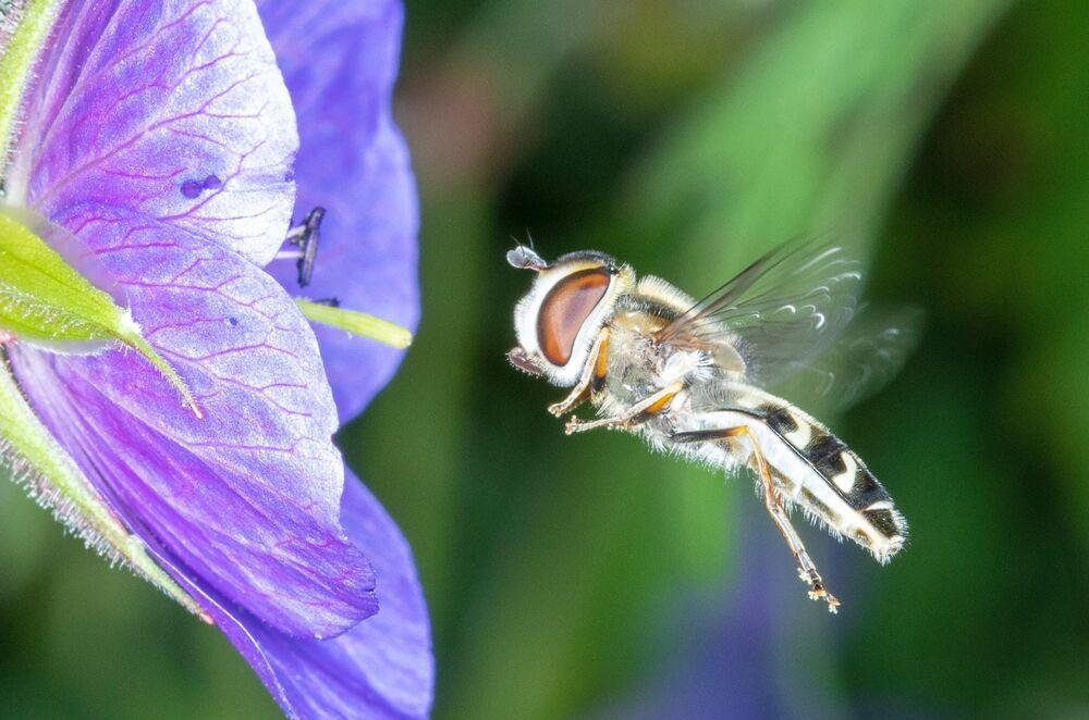 Hoverfly On Meadow Crowe's-bill