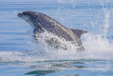 Bottlenose Dolphin Leaping