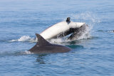 Bottlenose Dolphins Playing