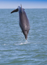 Leaping Bottlenose Dolphin Cardigan Bay