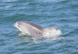 Bottlenose Dolphin Cardigan Bay