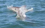 Bottlenose Dolphins Cardigan Bay