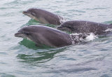 Bottle Nosed Dolphins Cardigan Bay