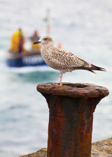 Gull Dreaming of Fish Supper