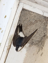 House Martin In Flight Leaving Nest