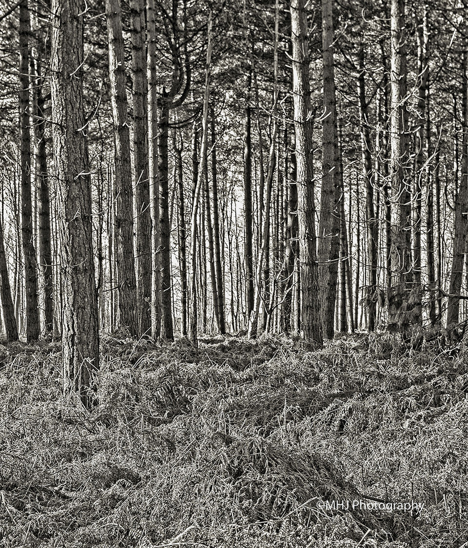 BW Line of trees